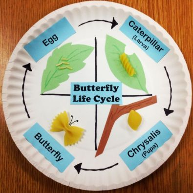 pinterest life cycle of a butter fly