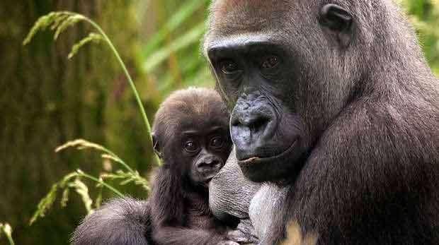 Western-lowland-gorillas.jpg